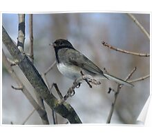 Bright Eyed Junco Poster