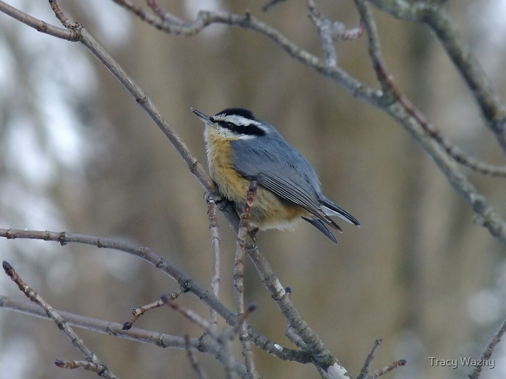 Red- breasted Nuthatch by Tracy Wazny