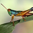 Grasshopper from Bali by jimmy hoffman