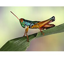 Grasshopper from Bali Photographic Print