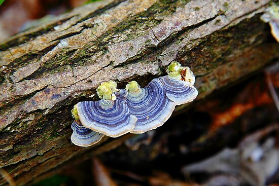 Turkey Tail  by Stephen J  Dowdell