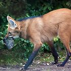 A strange bird..THE MANED WOLF by John44