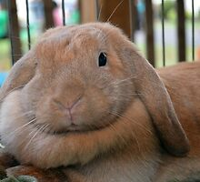 Lop Bunny by CavyGirl