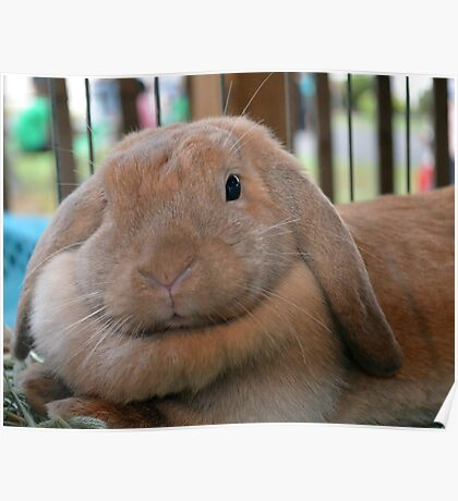 Lop Bunny Poster