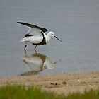 banded stilt by Grandalf