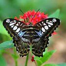 Blue Clipper Butterfly by gharris