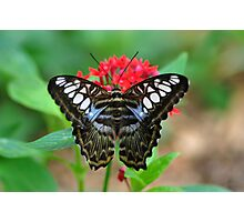 Blue Clipper Butterfly Photographic Print