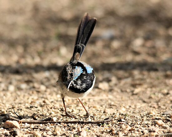 Blue Wren  by Kym Bradley