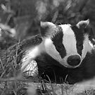 Black & white Badger by SteveHphotos
