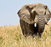 African bush elephant  (Loxodonta africana) by Shoba Ganesh