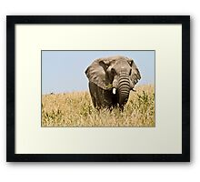 African bush elephant  (Loxodonta africana) Framed Print
