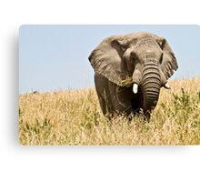 African bush elephant  (Loxodonta africana) Canvas Print