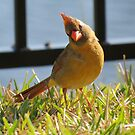 Lady Cardinal Strikes a Pose by Caren