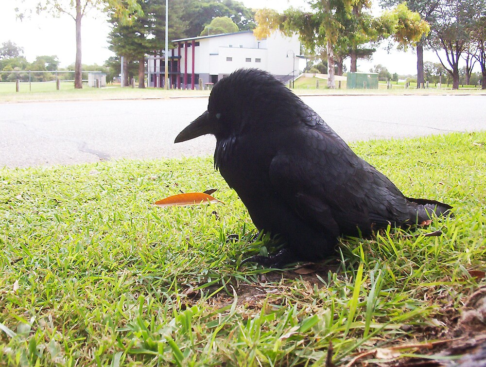Injured Crow - 05 03 13 - Collage Park by Robert Phillips