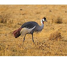 Grey Crowned Crane (Balearica regulorum) Photographic Print