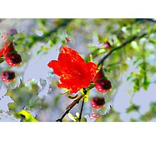 Pomegranite impressionism Photographic Print