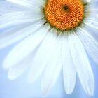 Daisy! by MoTakesPhotos