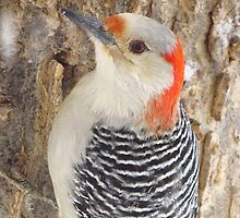 Mrs. Red-Belly Woodpecker by lorilee