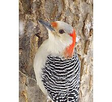 Mrs. Red-Belly Woodpecker Photographic Print