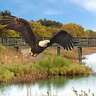 Eagle Soaring Through The Wetlands by Kathy Baccari