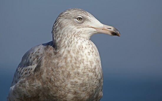 Glaucous Gull  by Robert Abraham