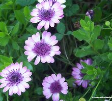 Ballerina African Daisies by James Brotherton
