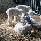 Four Little Lambs by gharris