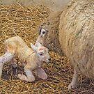 Newborn Lamb by gharris