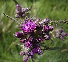 Thistle by Francis Drake