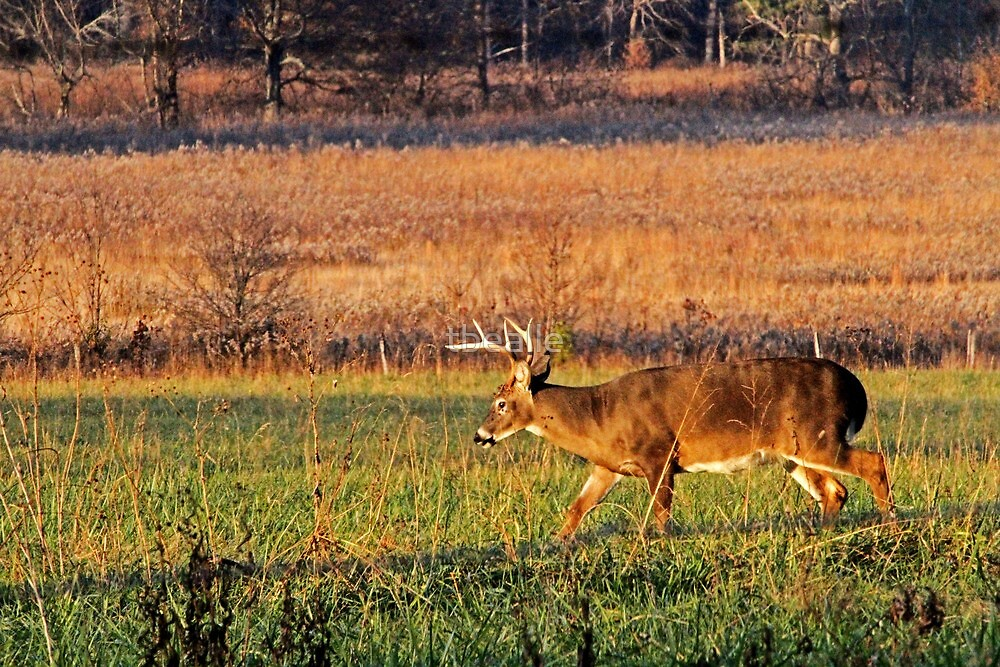 Buck Feeding in a Field at Sunset by Terri~Lynn Bealle