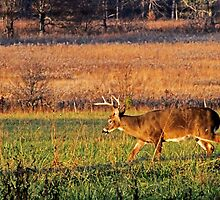 Buck Feeding in a Field at Sunset by Terri~Lynn Bealle