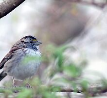 White-Throated Sparrow by JeannieBlue