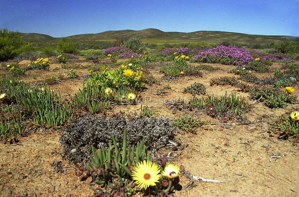 Namaqualand#2 - South Africa by Bev Pascoe
