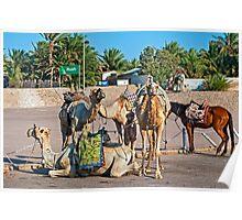 Camels. Poster