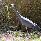 Grey Heron by Helen Greenwood
