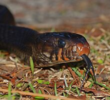 Eastern Indigo Snake by Michael L Dye