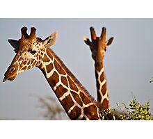 reticulated giraffe (Giraffa camelopardalis reticulata) Photographic Print