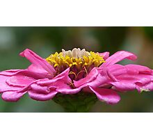 ZINNIA Photographic Print