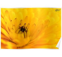 Calendula Flower Poster