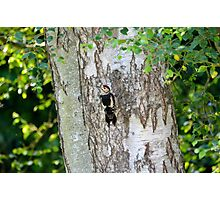 Great Spotted Wood Pecker, Sussex, England Photographic Print