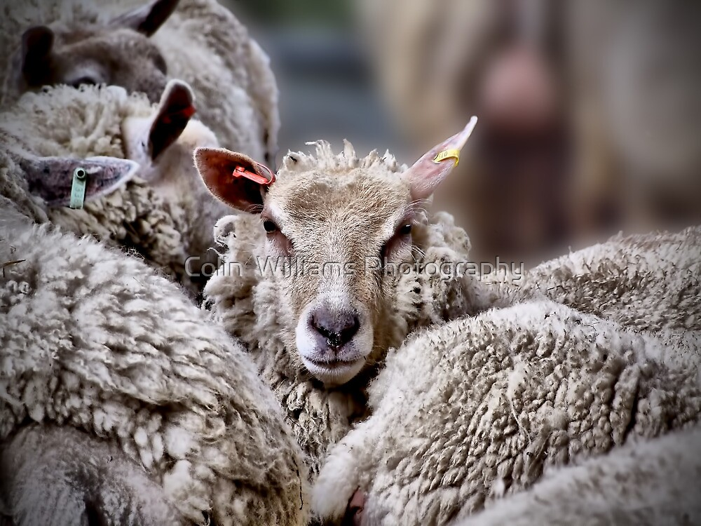 Sheep !! by Colin  Williams Photography