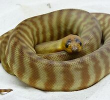 Australian Woma Python by Spider178
