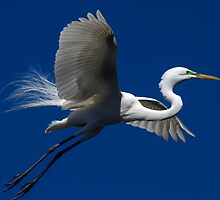 Egret in Flight by Barry Goble