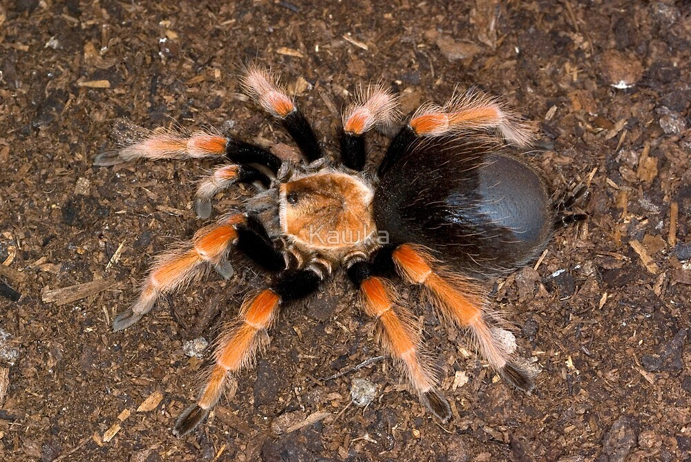 Mexican Beauty Tarantula by Kawka