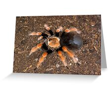Mexican Beauty Tarantula Greeting Card