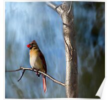 Artistic Female Northern Cardinal Poster
