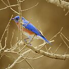 Bluebird on Sepia by Caren