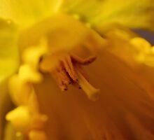Daffodil by aprilann