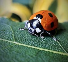 Ladybird by Paul Duncan