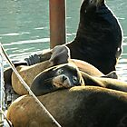Harbor Seals by kchase